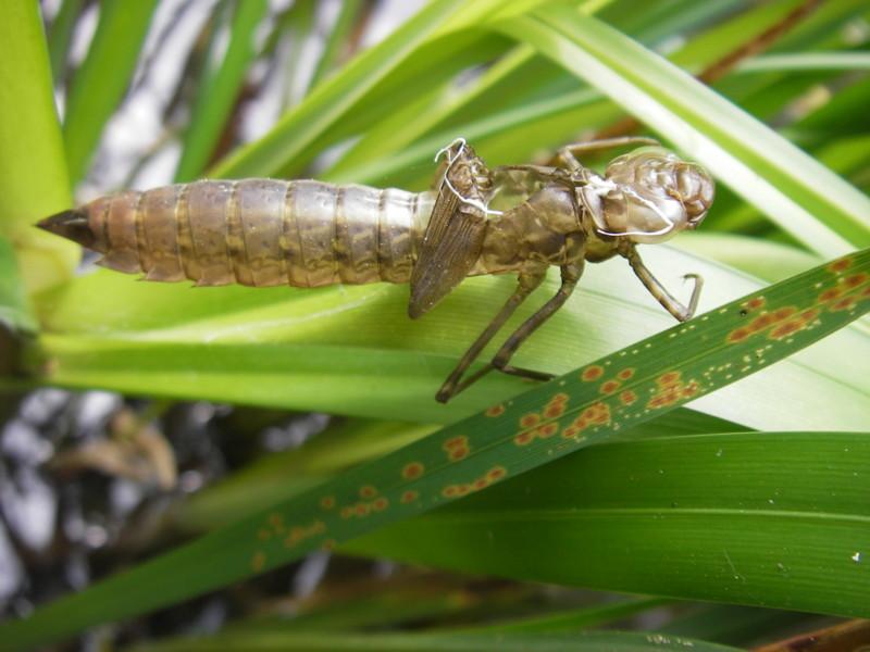 une autre exuvie de libellule