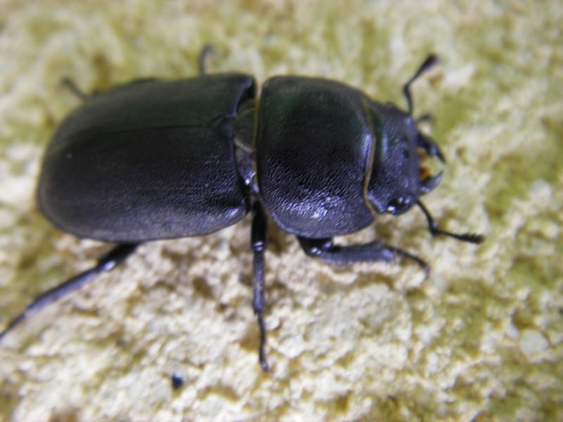 un scarabé