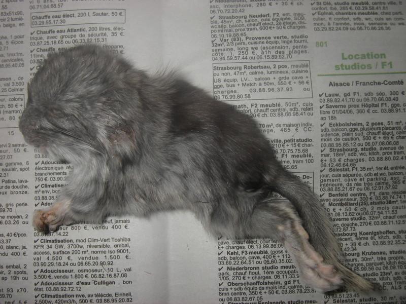 Petit chinchilla mort.